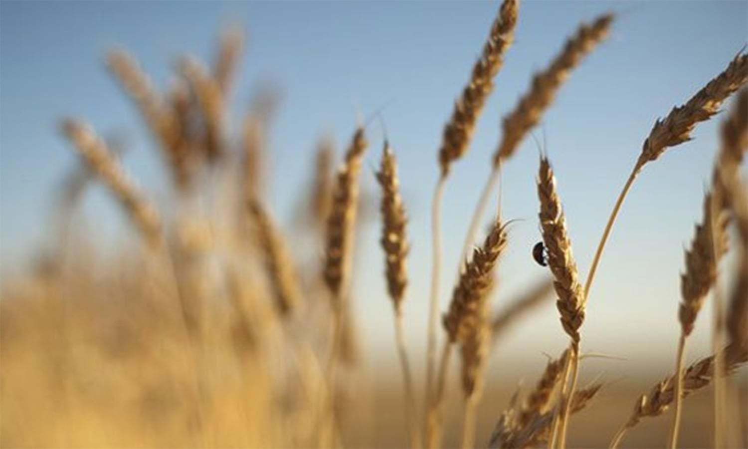 Local wheat and grain milling witnessed 94.25pc growth in 5 months of FY 2020-21