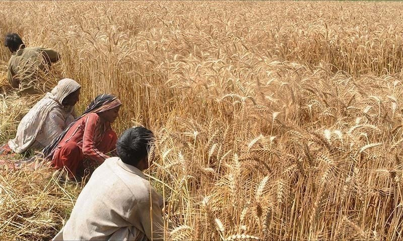 Govt fixes minimum support price for wheat at Rs1,800 per 40 kg for current season